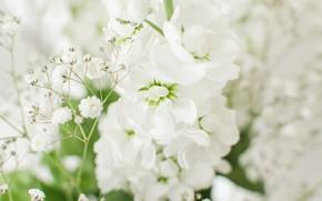 Картинка цветы, белые, светлый фон, боке