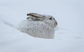 Картинка зима, снег, заяц, сугробы, профиль