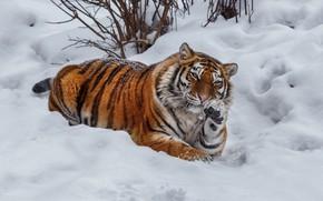 Картинка зима, снег, тигр, поза, животное, хищник, зверь, кусты, Олег Богданов
