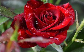 Картинка цветы, Розы, красные розы