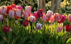 Картинка свет, цветы, яркие, весна, сад, тюльпаны, красные, розовые, клумба, много, разные
