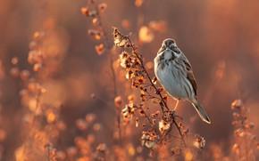 Картинка свет, веточка, рассвет, птица, растение, утро, стебель, луг, боке, тростниковая овсянка