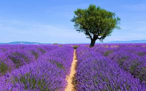 Картинка цветы, дерево, лаванда, плантация, лавандовое поле