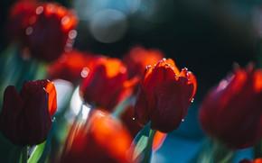 Картинка свет, размытие, весна, сад, тюльпаны, красные, бутоны, клумба, боке