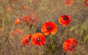 Картинка поле, цветы, мак, маки, красные, алые, былинки, маковое поле