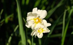 Картинка flower, flowers, macro, narcissus