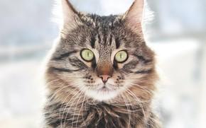 Картинка взгляд, Кот, красавец, мейн-кун