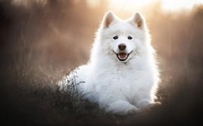 Картинка морда, портрет, собака, белая, самоед