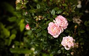 Картинка макро, куст, сад, розовые, розочки