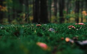 Картинка Природа, Трава, Растение, Растения, Nature, Grass, Forest, Flora, Plants, Mushroom, Флора, Plant, Close-Up, Irina Iriser, …