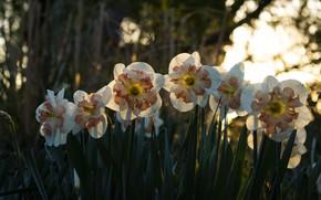Картинка лес, свет, цветы, парк, весна, нарциссы