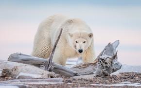 Картинка медведь, Аляска, коряга, белый медведь, полярный медведь
