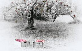 Картинка природа, яблоки, сад, яблони