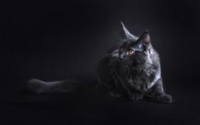 Картинка кошка, взгляд, черный, мордочка, уши, Мейн-кун