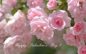 Картинка розы, розовые, день святого валентина