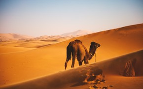 Картинка Desert, Wallpaper, Landscape, Camel
