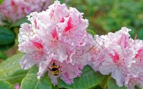 Картинка пчела, рододендрон, азалия