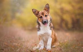 Картинка взгляд, собака, щенок, боке