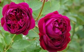 Картинка Розы, Flowers, Roses, Pink roses, Розовые розы