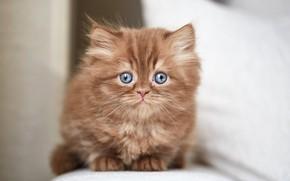 Картинка кошка, взгляд, котенок, портрет, мордочка, котёнок, сидит, светлый фон, британский, шоколадный, голубоглазый