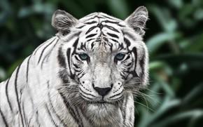 Картинка Тигр, Кот, Глаза, Морда, Арт, Tiger, Животное, Белый Тигр, White Tiger, Усатый, Woo Dii, by …