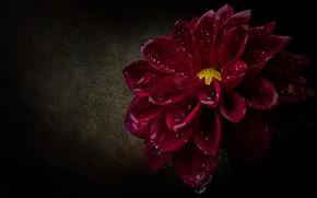 Картинка цветок, капли, макро, лепестки, черный фон, алая, георгина, капли воды, малиновая, пышная, бордовая