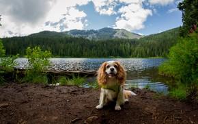 Картинка лес, лето, облака, горы, природа, берег, собака, водоем, кавалер кинг чарльз спаниель