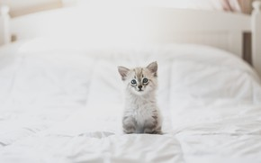 Картинка белый, взгляд, поза, котенок, фон, комната, кровать, светлый, малыш, постель, милый, одеяло, котёнок, сидит, голубоглазый, …