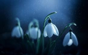 Картинка макро, цветы, природа, весна, подснежники, первоцветы