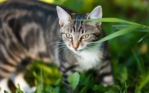 Картинка кошка, трава, кот, взгляд, морда, серый, портрет, полосатый