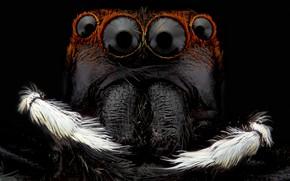 Картинка макро, фон, чёрный, портрет, паук, насекомое