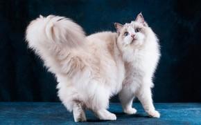 Картинка кошка, кот, взгляд, морда, поза, темный фон, белая, стоит, голубые глаза, киса, милашка, синий фон, …