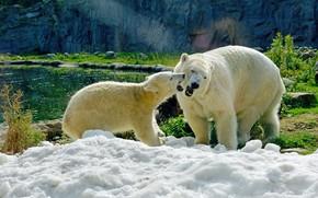Картинка зелень, снег, природа, пруд, скалы, малыш, медведи, мишка, пара, медвежонок, белые, белый медведь, парочка, дуэт, …