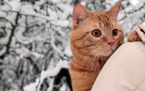 Картинка зима, кошка, кот, взгляд, снег, деревья, ветки, природа, парк, портрет, рыжий, куртка, прогулка, хозяйка, плечо, …