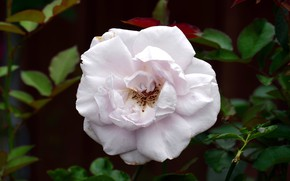 Картинка листья, темный фон, роза, лепестки, белая, цвеок