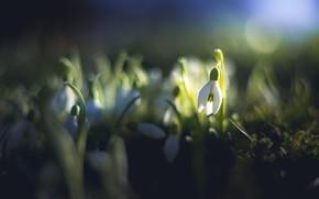 Картинка свет, цветы, темный фон, поляна, красота, размытие, весна, подснежники, боке, бутончики