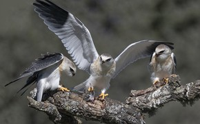 Картинка птицы, природа, Nibbio bianco, Elanus caeruleus