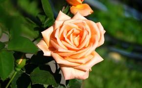 Картинка зелень, цветок, листья, цветы, фон, роза, оранжевая, лепестки, сад, бутон, одна, зеленый фон, желтая, пышная, ...