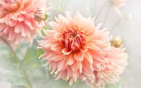 Картинка лето, макро, лепестки, сад, оранжевые, светлый фон, георгины, пышные