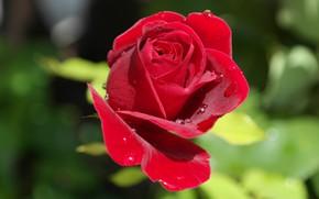 Картинка цветок, листья, вода, капли, макро, роза