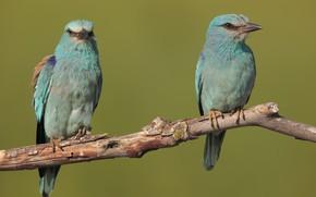 Картинка птицы, ветка, парочка, сизоворонки