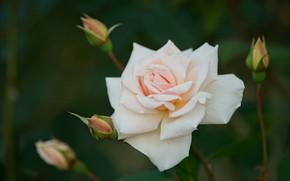 Картинка фон, роза, лепестки, бутоны