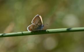 Картинка лето, фон, бабочка, стебелёк, голубянка Икар