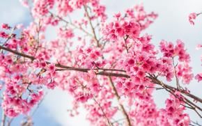 Обои ветки, весна, сакура, цветение, pink, blossom, sakura, cherry, spring, bloom
