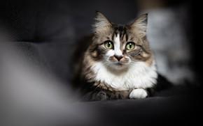 Картинка портрет, диван, взгляд, темный фон, свет, кошка, лежит, размытие, зеленые глаза, серая с белым, мордочка, …