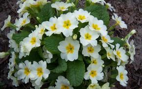 Картинка цветы, весна, примулы, Meduzanol ©, весна 2010