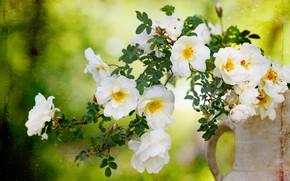 Картинка цветы, розы, ветка, шиповник, белые