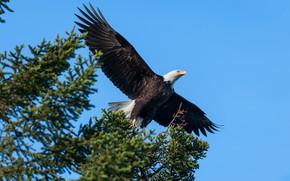 Картинка небо, полет, ветки, птица, голубое, орёл, хвоя, летит, летящий, белоголовый орлан, размах крыльев