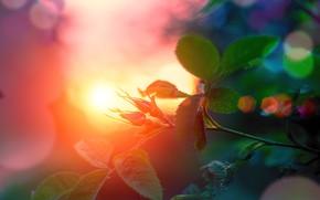 Картинка листья, свет, ветки, розы, бутоны, боке, розовый куст