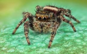 Картинка глаза, макро, поверхность, поза, зеленый, фон, лапки, паук, мохнатый, пятна, коричневый, полосатый, прыгун, джампер, паучок, …